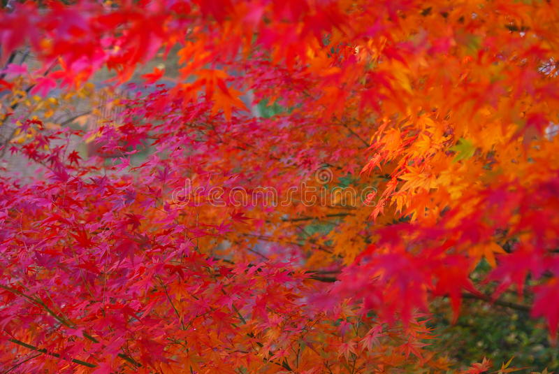 Red And Orange Leaves In Fall Stock Images