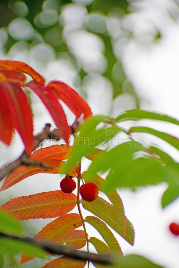 Red and orange leaves of a mountain ash. Mountain ash in full beauty. Autumn rowan berries. royalty free stock image
