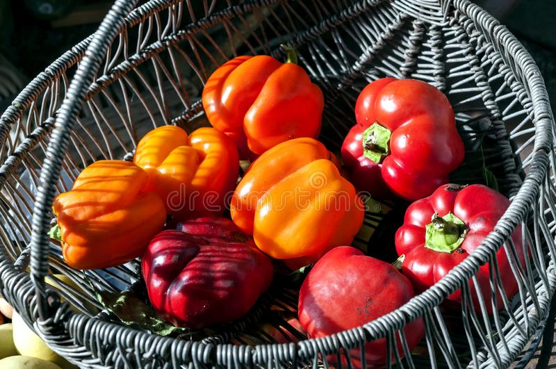 Red and orange peppers grown in the garden stock photography