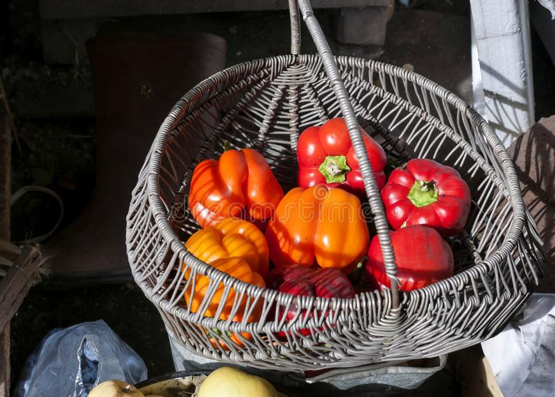 Red and orange peppers grown in the garden royalty free stock image