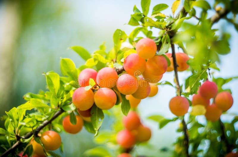 Red orange plum royalty free stock images