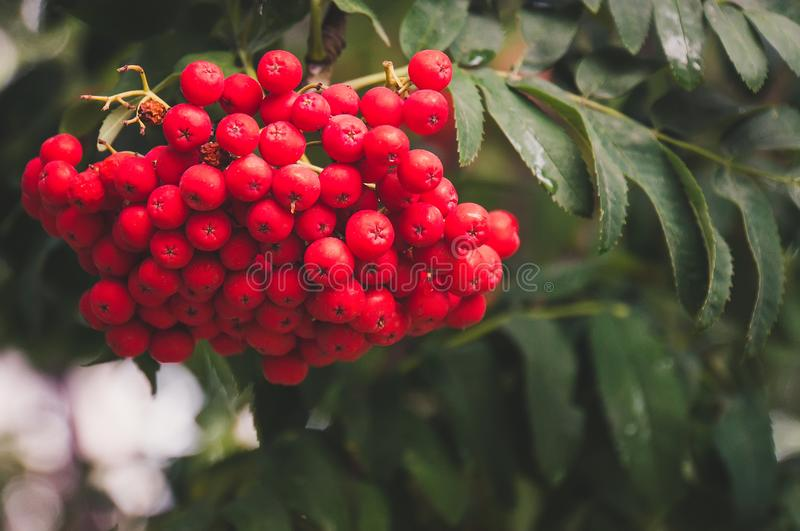 Red orange rowan berries hanging from tree. Large orange berries on the tree closeup on a background of autumn green leaves stock image