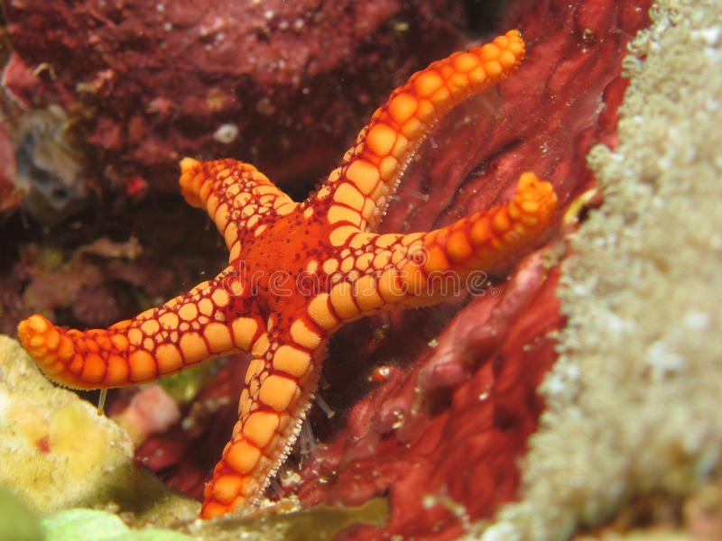 Red and orange seastar royalty free stock images