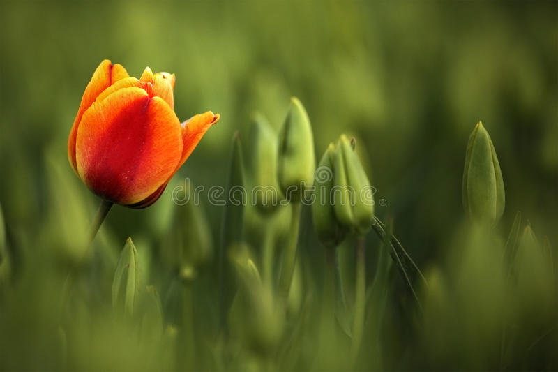 Red and orange tulip bloom, red beautiful tulips field in spring time with sunlight, floral background, garden scene, Holland, Net stock photos