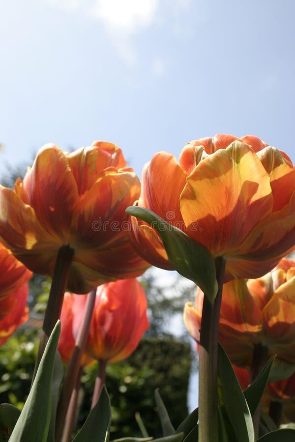 Red orange tulips stock photography