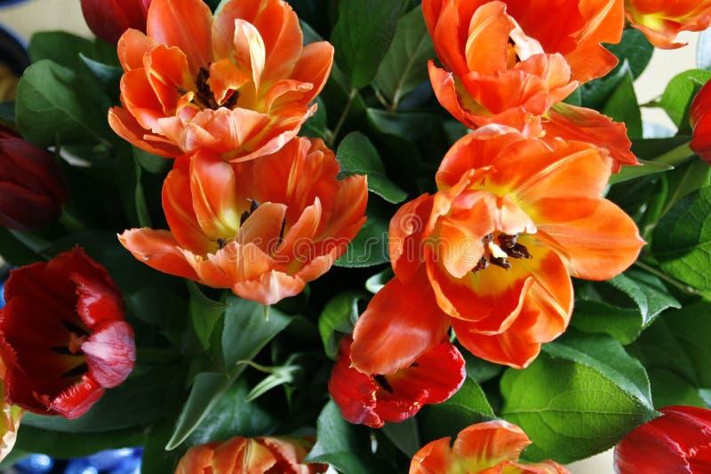 Red orange tulips royalty free stock photos