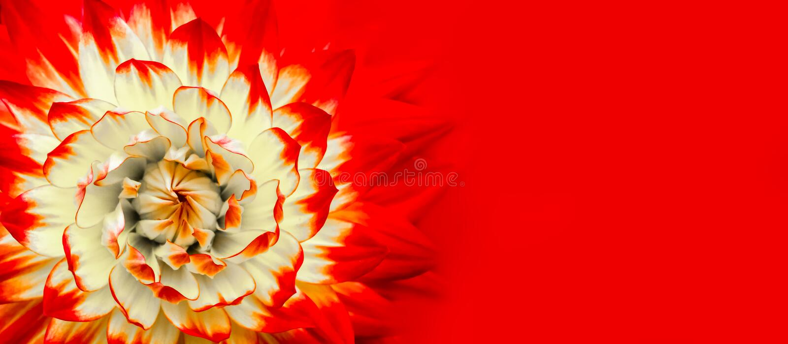 Red, orange, white colours dahlia. Red white dahlia close up macro photo abstract geometric floral pattern details wide panorama royalty free stock photography