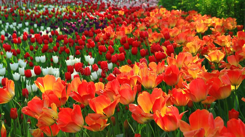 Red, orange and white tulips. Blossoming garden. Summer day. stock photos
