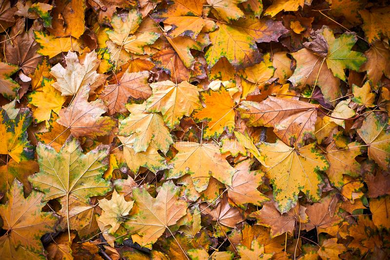 Red, orange and yellow autumn leaves background. Colorful leaves lie on the ground. royalty free stock image