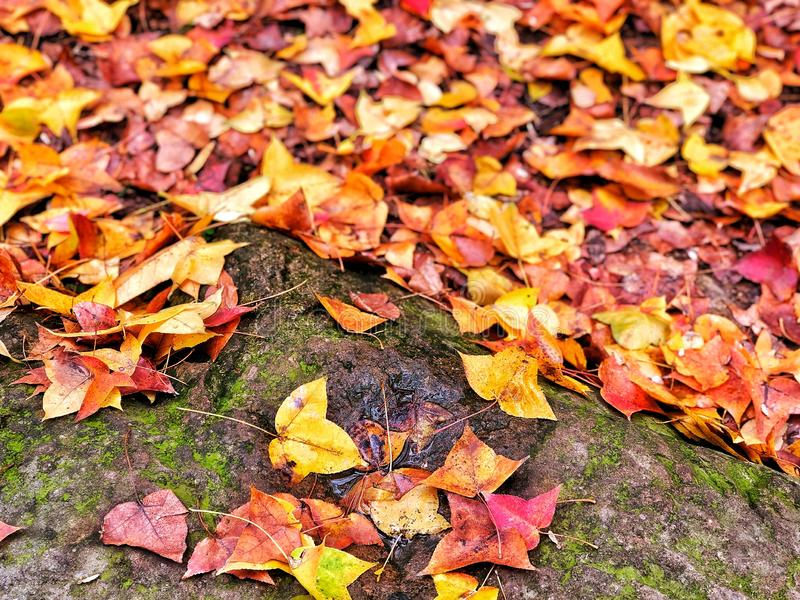 Red, Orange and yellow maple leaves falling on rock floor with moss in the public park, feeling fresh in autumn season. stock photos