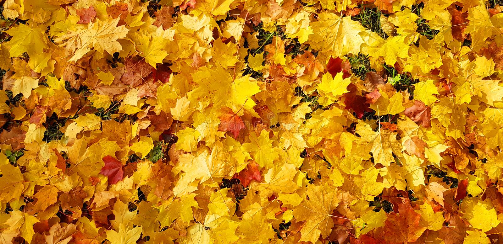 Red orange yellow maple leaves lie on the ground colorful autumn background.  royalty free stock photography