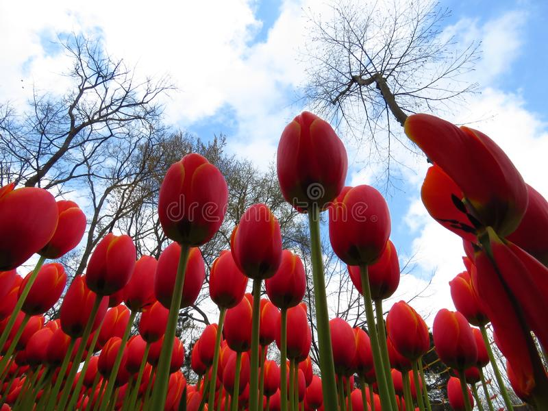 Red Orange Yellow Prince of Austria Tulips flower shot from below close up against blue cloudy sky and bare leafless tree branches. Many tulips blooming in the stock photo