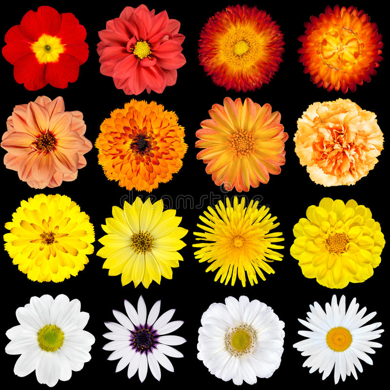 Red, Orange, Yellow and White Flowers Isolated royalty free stock image