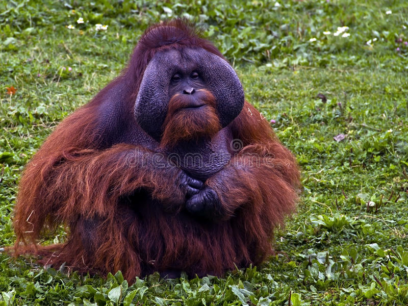 Download Red Orangutan Stock Image - Image: 24248931