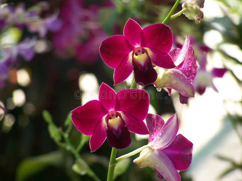 Download Red Orchid stock photo. Image of bloom, park, close, macro - 100518