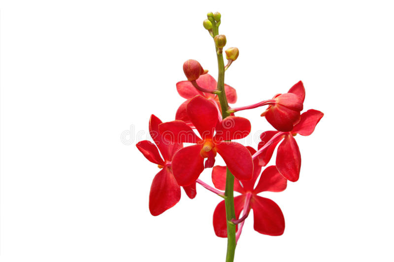 Red orchid stock images