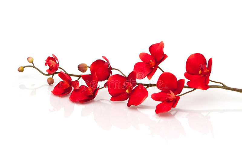 Red orchid. On white background stock photos