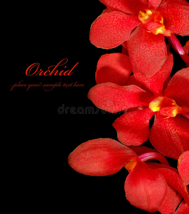 Red orchid. Red fresh orchid flower isolated on black background stock photos