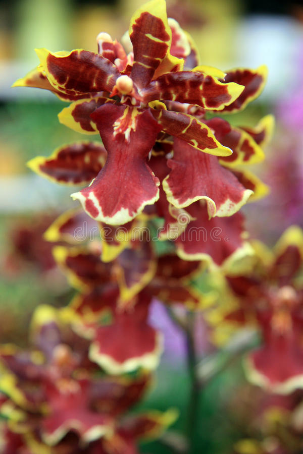 Red orchid. Branch rare mottled Red orchid royalty free stock photos