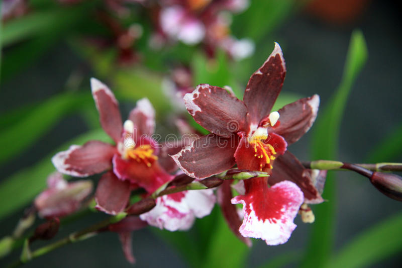Red orchid. Branch rare mottled Red orchid royalty free stock images