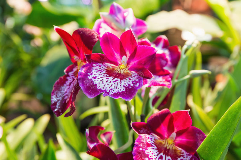 Red orchid. Bright red orchid on the background of green foliage stock photos