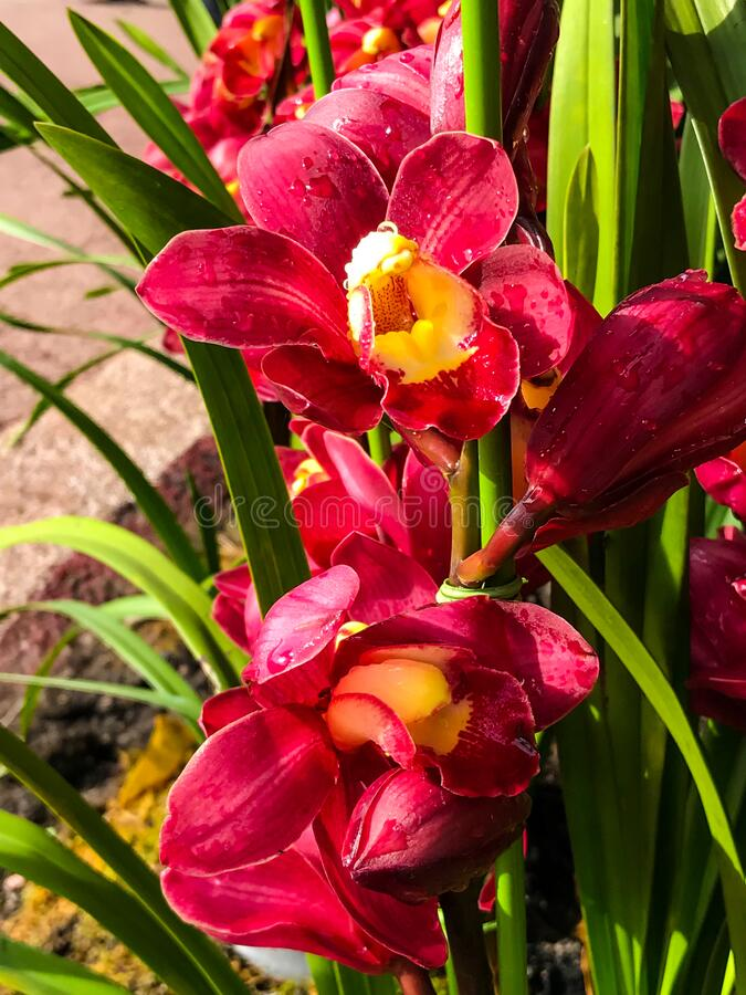 Red orchid flower. In garden stock photos