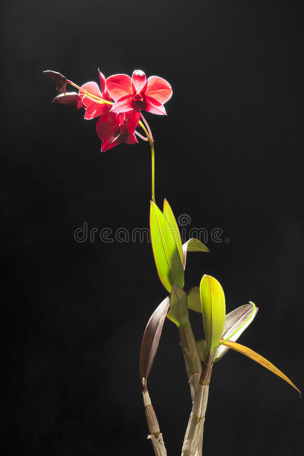 Red orchid plant royalty free stock images