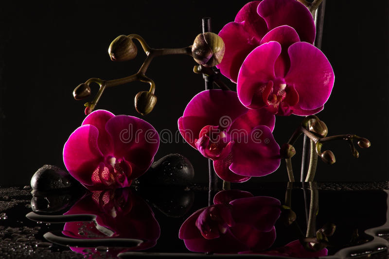 Red Orchids. Closeup of an orchid with black background stock photography