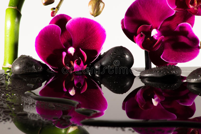 Red Orchids. Closeup of an orchid with black Background and stone royalty free stock photo