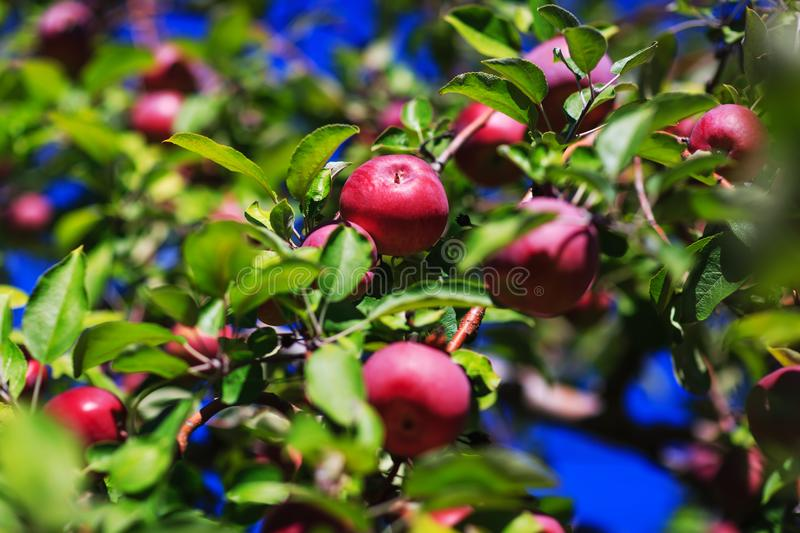Red organic apples hanging from a tree branch in an autumn apple royalty free stock images