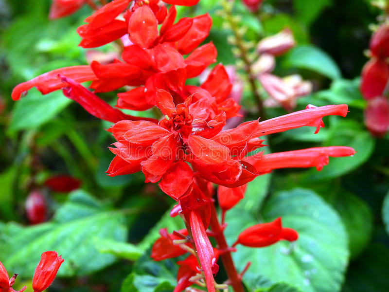 Red ornamental plant. stock photo