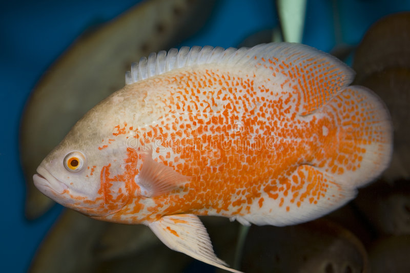 Red oscar fish stock photography