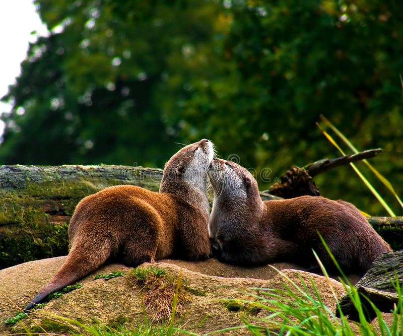 Red Otters in love royalty free stock photography