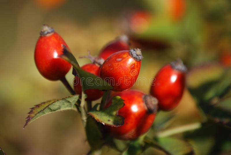 Red Oval Fruits in Macro Lens royalty free stock image