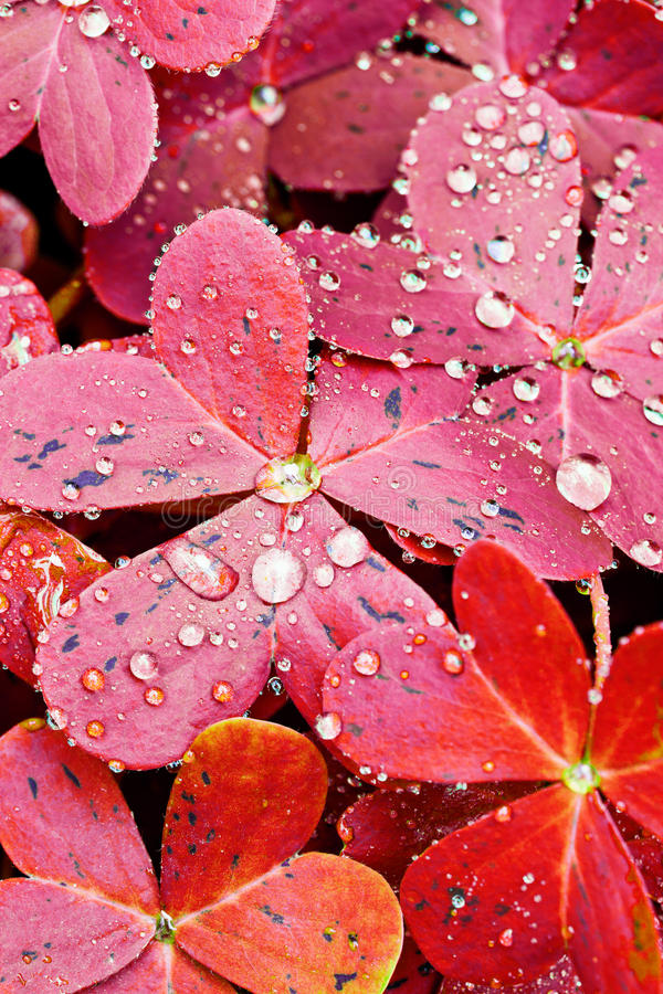 Red Oxalis Leaves stock photo