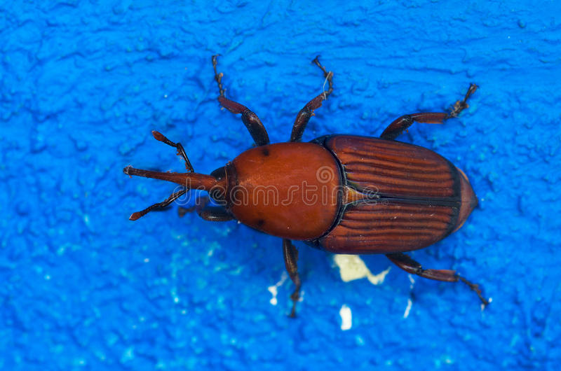 Red Palm Weevil overview over blue - Rhynchophorus ferrugineus stock images