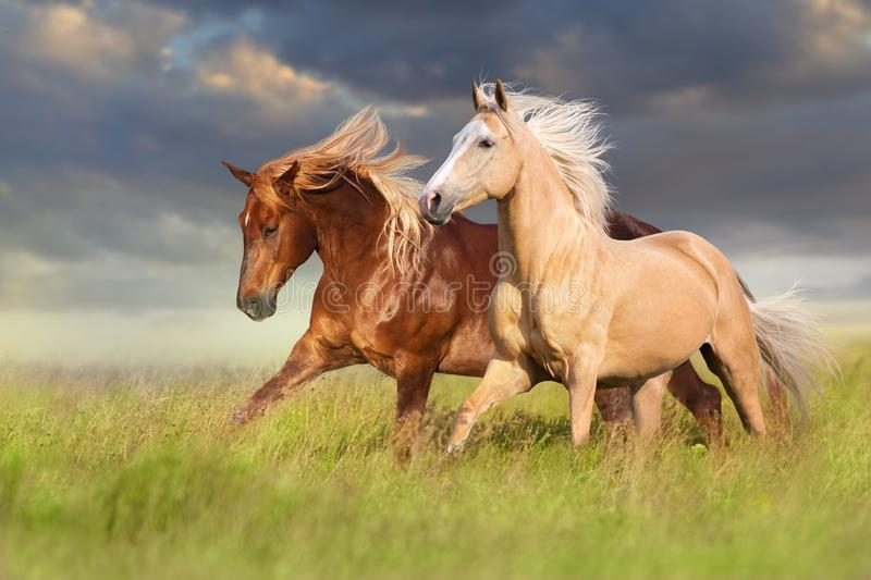 Red and palomino horse. With long blond mane in motion on field royalty free stock image