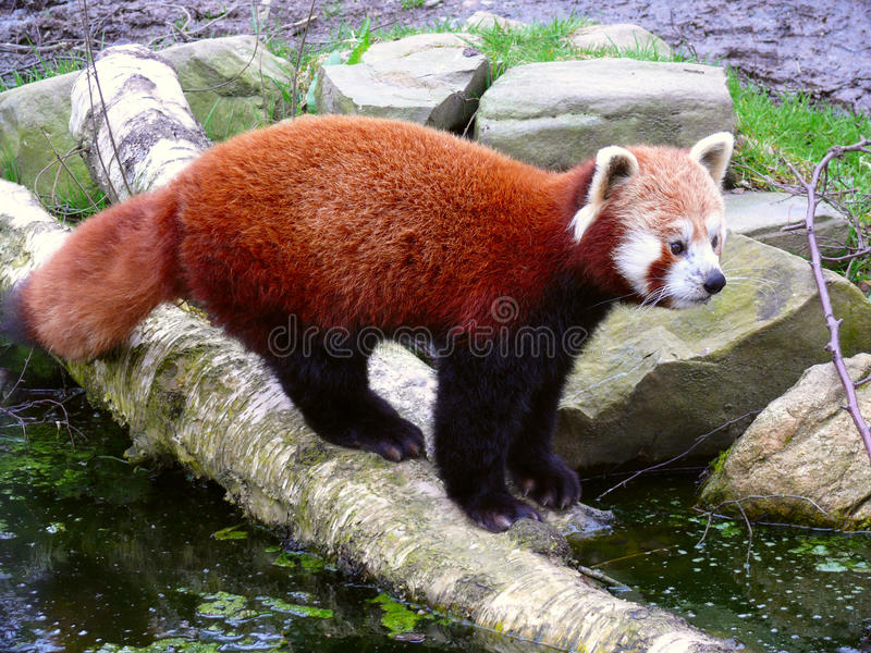 Download Red panda stock image. Image of fire, nepalese, exotic - 11178167