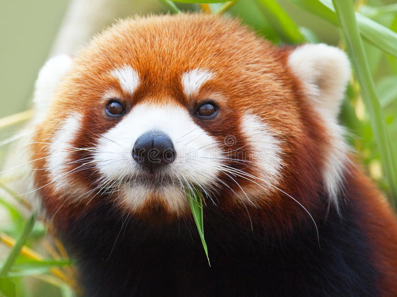 Red Panda. The Red Panda, Firefox or Lesser Panda (taxonomic name: Ailurus fulgens, shining cat stock photo