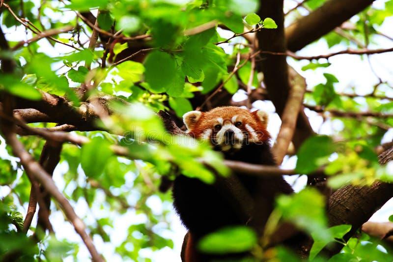 Red Panda. Climbing the tree royalty free stock image