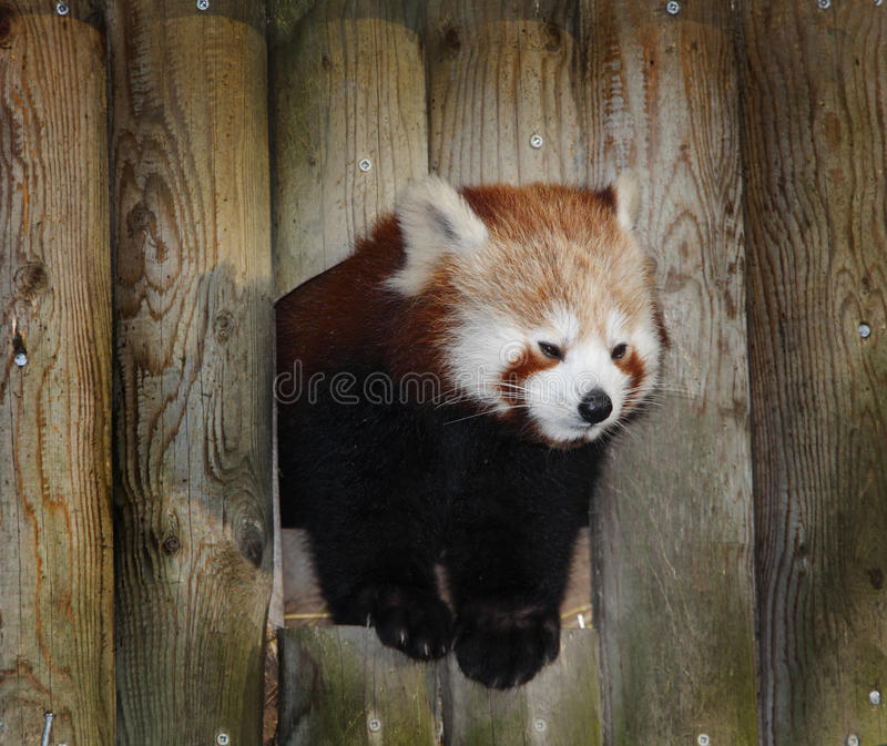 Red Panda. Climbing out of his home royalty free stock photo