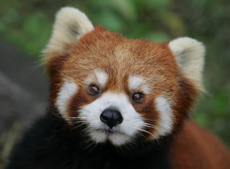 Red Panda. A red panda at the zoo royalty free stock photo