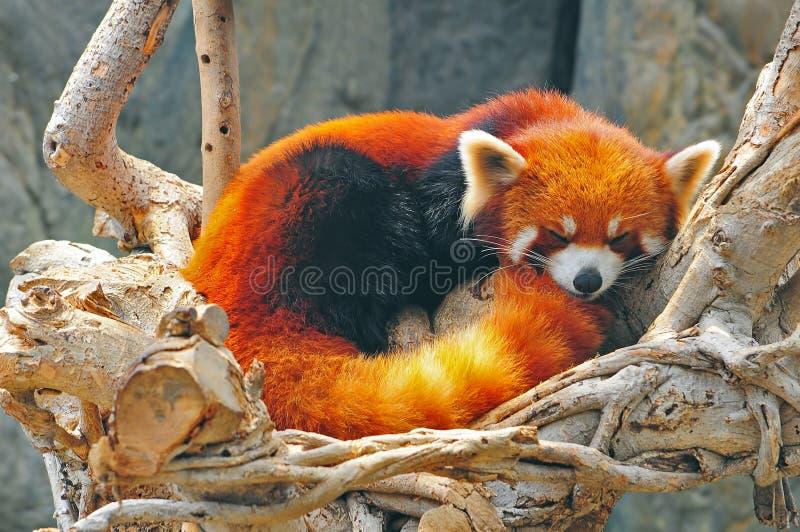 Red panda. Sleeping red panda at the ocean park hong kong royalty free stock image