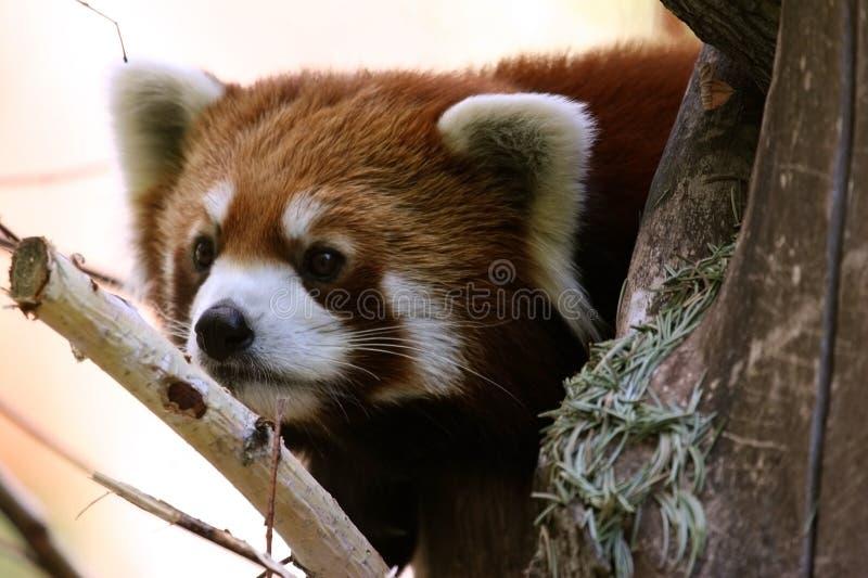 Download Red panda stock photo. Image of small, wildlife, animal - 2152536