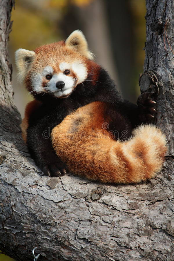 Red panda. The red panda is looking at me royalty free stock image