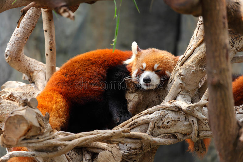 Download Red panda stock image. Image of lovely, bhutanese, oriental - 21845817