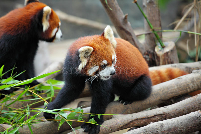 Download Red panda stock image. Image of bamboo, asia, mammal - 22301327