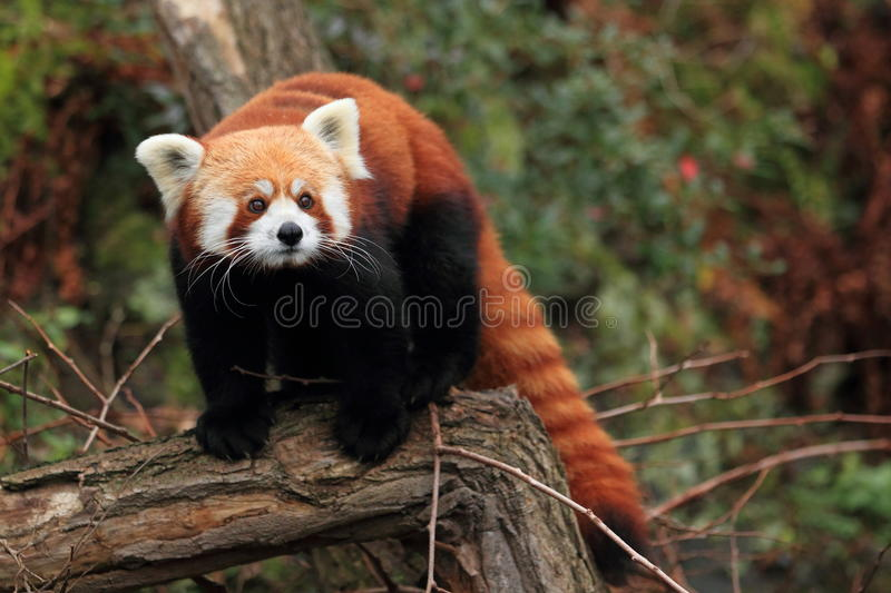 Red panda. The red panda standing on the wood stock photos