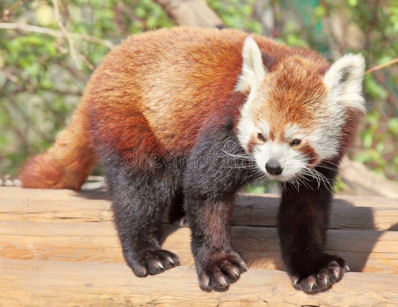 Download Red panda stock photo. Image of zoology, cute, shining - 24067384