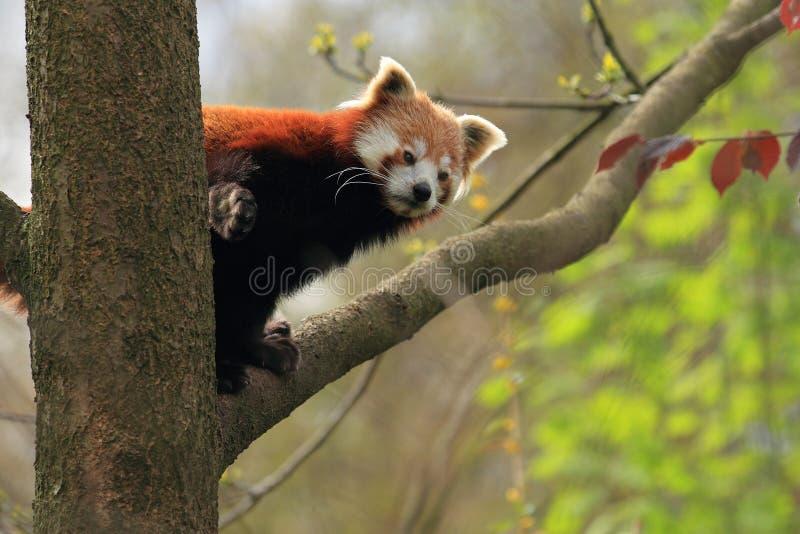Download Red panda stock image. Image of leaf, fulgens, tree, arboreal - 24481393